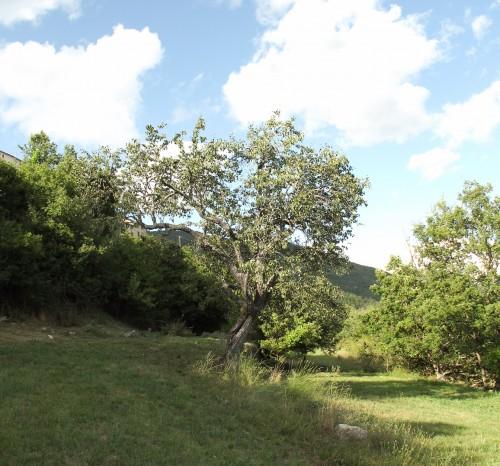 Ancient Pear Tree